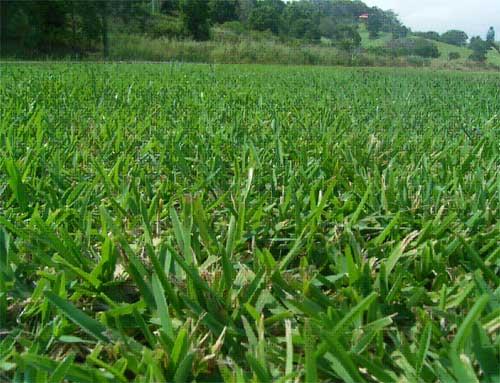 Buy Buffalo Grass Range