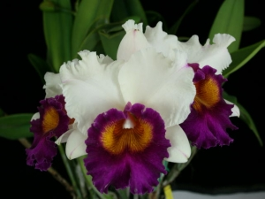 Buy Blc. Golden Emperor 'Valley Isle' AM/AOS Cattleyas Mericlone