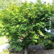 Buy Acer palmatum - Green-leaved Japanese Maples