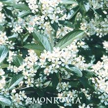 Buy Aronia arbutifolia - Red Chokeberry