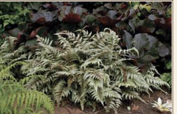 Buy Athyrium niponicum 'Pictum'