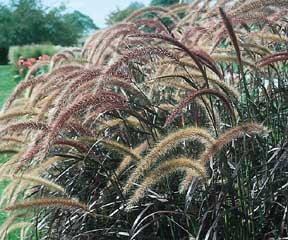 Buy Perennial Grasses