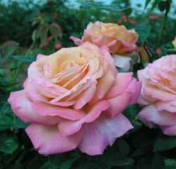 Buy Rose Bushes