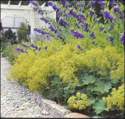 Buy Perennial Plants
