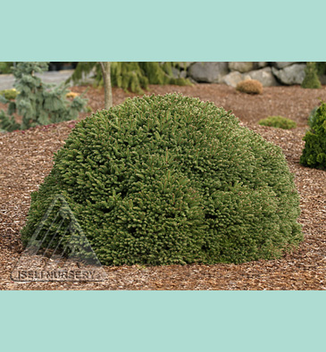Buy Fat Cat Norway Spruce Plant