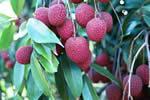 Buy Fresh Lychee Fruit