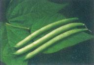Buy Tender Green IMP Bean