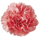 Buy Carnation Flowers
