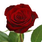 Buy Standard Roses