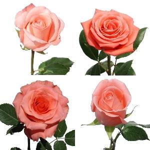 Buy Pink Roses