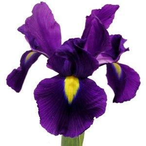 Buy Iris Purple Fresh Flowers