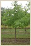 Buy Pin Oak