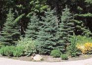Buy Evergreen trees