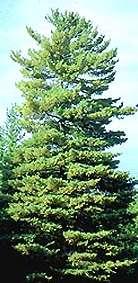 Buy White Pine