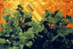 Buy Cilantro and coriander