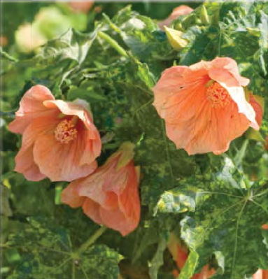 Buy Abutilon - Flowering Maple