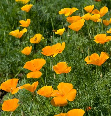 Buy California Poppy Seeds