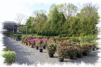 Buy Nursery Evergreen Plants