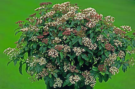 Buy Shrubs Plants
