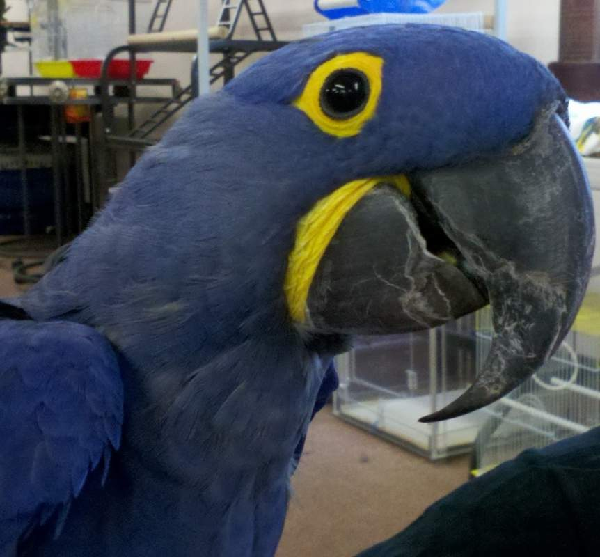 Buy Hyacinth Macaw