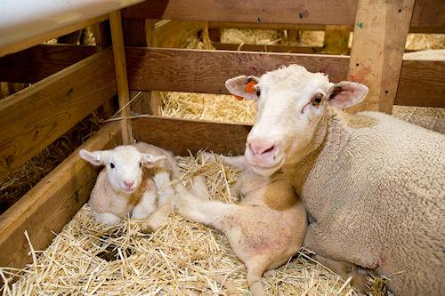 Buy SmartLic Sheep16 Supplement