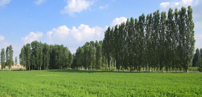 Buy Hybrid Poplar Trees