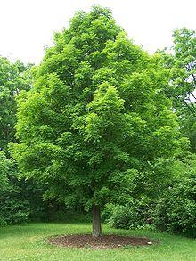 Buy Sugar Maple (Acer saccharum)