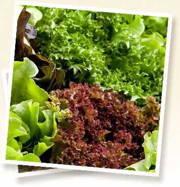 Buy Green Leaf Lettuce