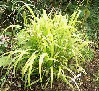 Buy Golden Millet Grass - Milium effusum Aureum 250 seeds