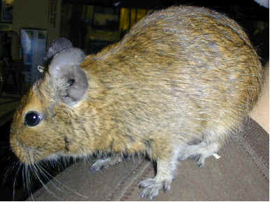 Buy Degu Pet