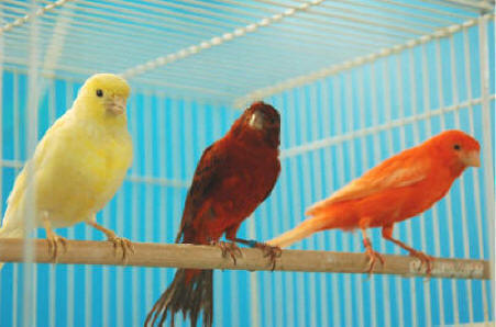 Buy Canary Bird