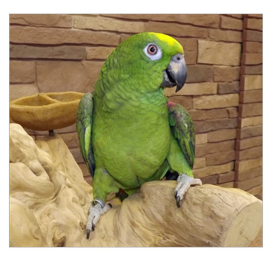 Buy Yellow Crown Amazon (Amazona Ochrocephala )
