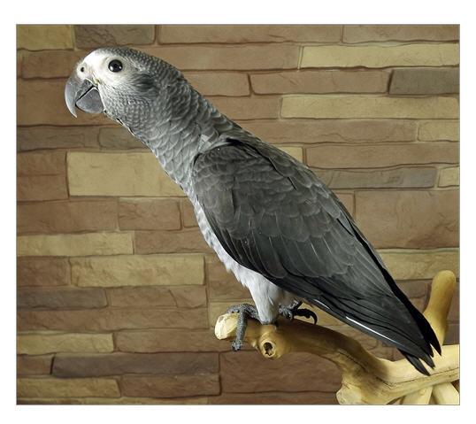 Buy Timneh African Grey Baby (Psittacus Erithacus Timneh )