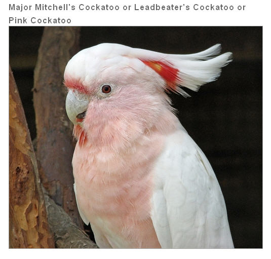 Buy Major Mitchell's Cockatoo or Leadbeater's Cockatoo or Pink Cockatoo