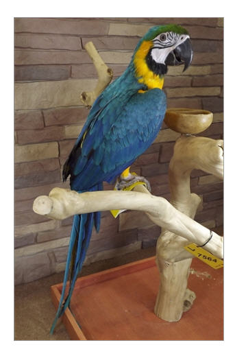 Buy Blue & Gold Macaw