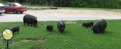 Buy American Guinea Hogs