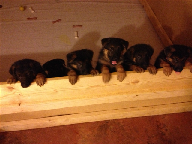 Buy AKC Registered Pure-bred German Shepherd Dog Puppies