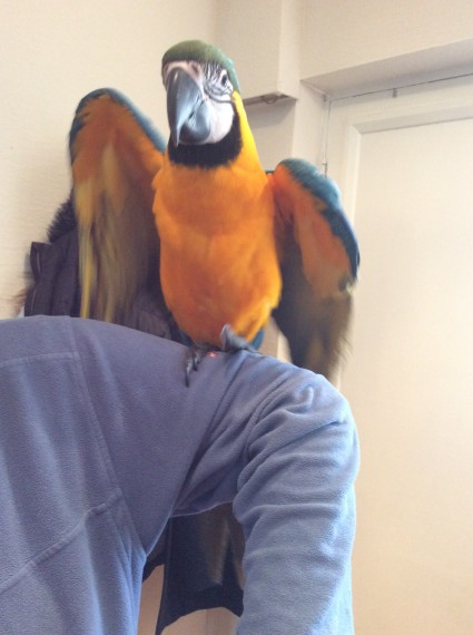 Buy Blue And Gold Macaw Parrot For Sale