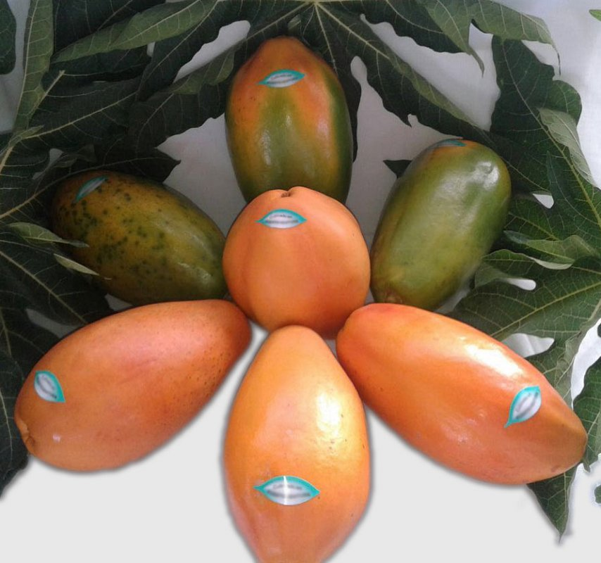Buy Semilla de Papaya Maradol Tipo y otros hibridos de mejor Rendimiento, Calidad y Resistencia