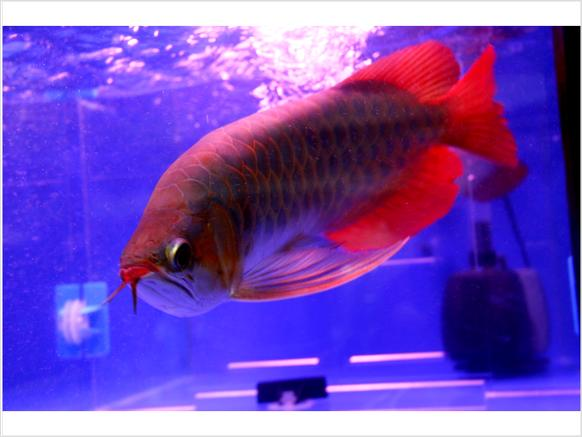 Buy Super Red arowanas for sale and others