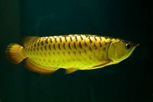 Buy 24k Golden Arowana Fish For Sale etc