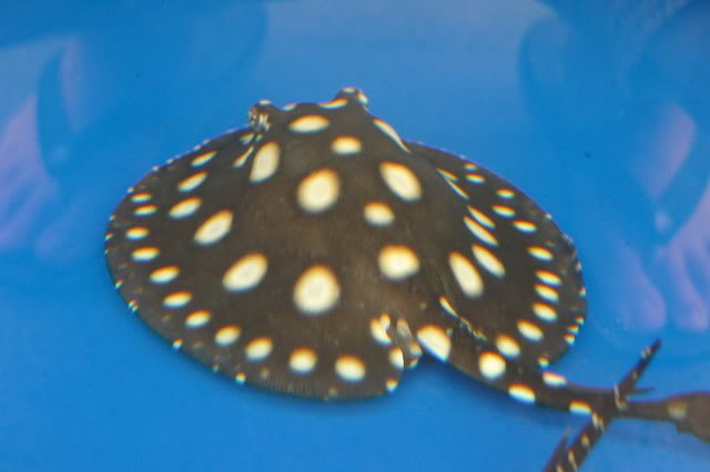 Buy P13, P14 Black Diamond Stingrays Fish For Sale and other Stingrays