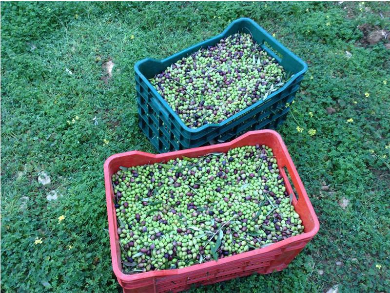 Buy Greek Olive Oil from Crete - 1000 ml (33.8fl.oz.)