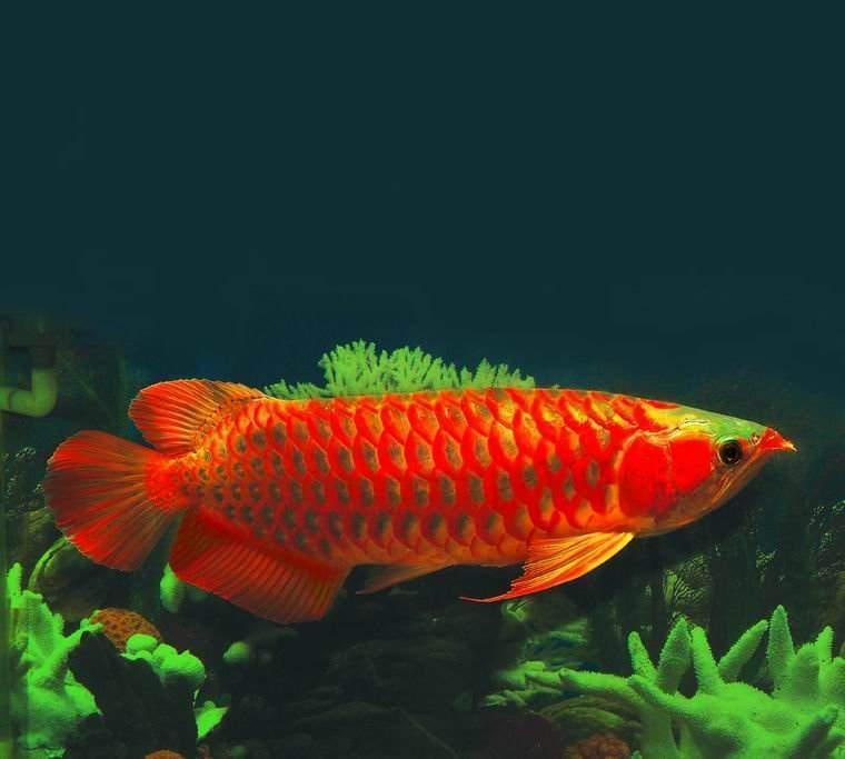 Buy SUPER RED AROWANA FISH