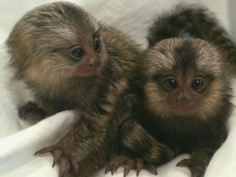Buy Marmoset monkeys for adoption.