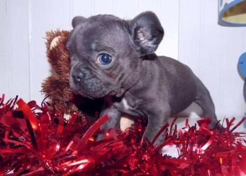 Buy  Available Blue French Bulldog puppies