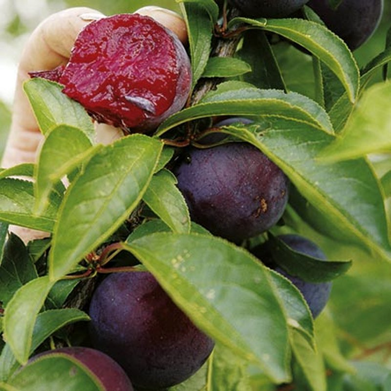 Buy Fruit Trees