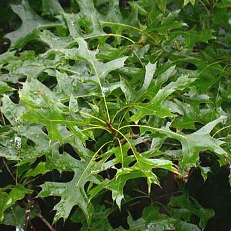 Buy Pin Oak (palustris) Tree