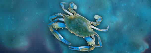 Buy Blue Crab Meat
