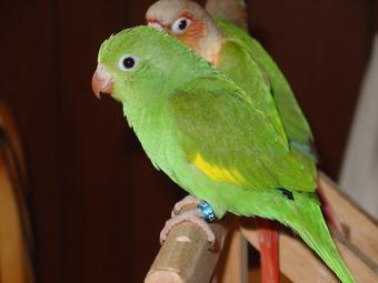Buy Pocket Bee-Bee Parrot
